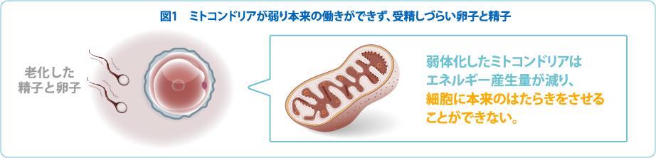 ミトコンドリアが弱り本来の働きができず、受精しづらい卵子と精子